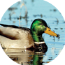 Breeding Waterfowl