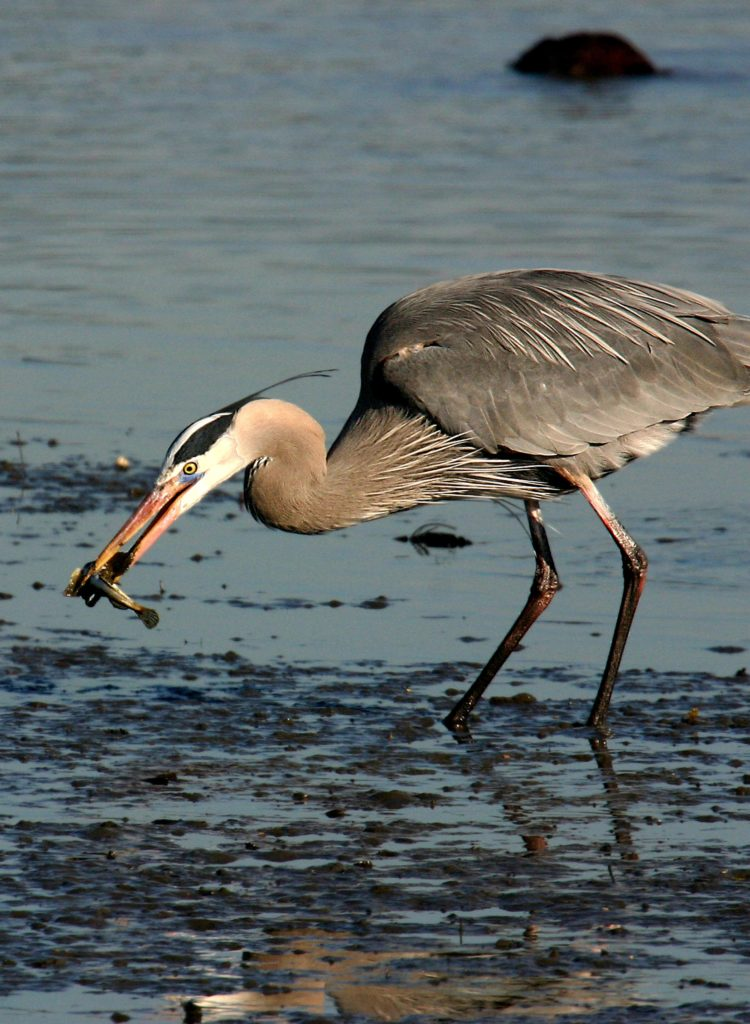 photo of Great Blue Heron foraging
